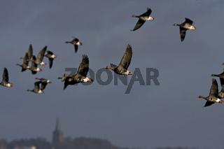 Blessgans, Anser albifrons, Niederrhein, Deutschland,  White fronted Goose, Lower Rhine, Germany