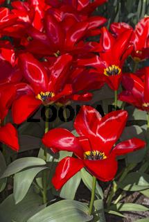 Holländische Tulpensorte Tulip fosteriana Madame Lefebre