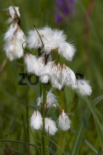 Wollgras,  Eriophorum, cottongrass