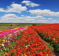 Bright red blooming field