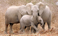 family of african elephants, south africa, wildlife