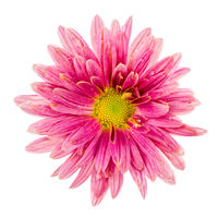 Macro of an isolated pink aster flower blossom