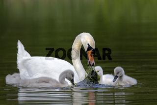 Hšckerschwan mit KŸken, (Cygnus olor), Schleswig-Holstein, Deutschland