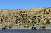 Herd of horses grazing at the Orkhon river, Khangai Nuruu National Park,Oevoerkhangai Aimag,Mongolia