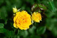 Fresh rose plant with yellow flowers in green garden
