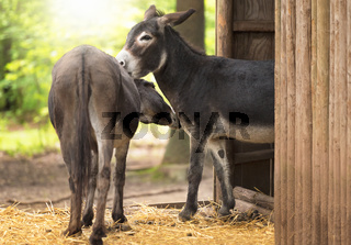 Pair of donkeys showing affection to each other