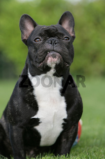 freche Bulldogge