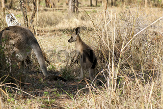 Kangaroos in the morning at the forest