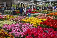 Tulips in the Willem-Alexander Pavillon, Keukenhof Flower Gardens, Lisse, Netherlands