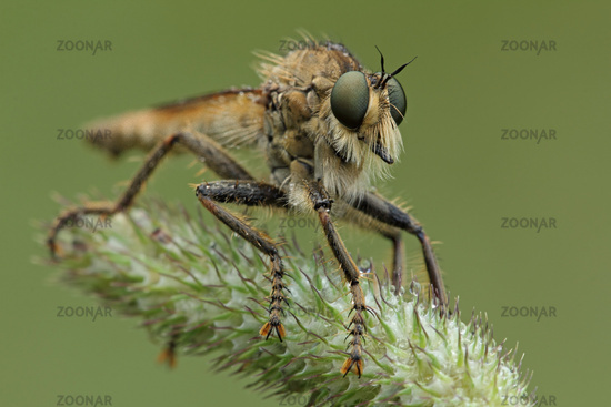 Robber fly (Machimus rusticus)
