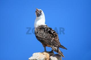 Peruvian booby in Ballestas islands Reserve in Peru