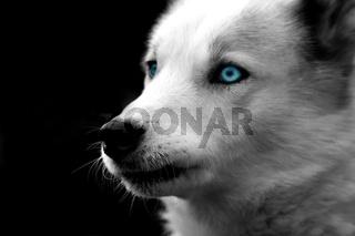 Husky monochrom mit farbigen Augen