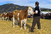 Presentation of a Swiss Fleckvieh cow at the Swiss Cow Topschau Saanenland, Gstaad, Switzerland