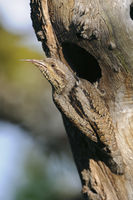 showing its sticky tongue... Eurasian Wryneck *Jynx torquilla*