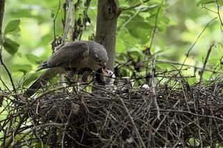 Heißhunger... Sperber *Accipiter nisus * füttert den Nachwuchs