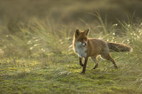 for just a momnet... Red Fox *Vulpes vulpes*
