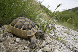 Griechische Landschildkröte / Herman's Tortoise / Testudo herman