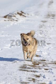 Hund läuft im Schnee