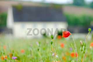 Poppy, Whilte Flowers and Farm House