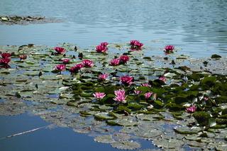 Nymphaea Hybride, Seerose, waterlily