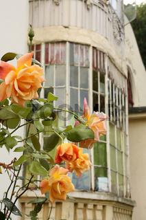 Rosen vor altem Fenster