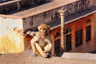 Young Rhesus macaque sitting on a wall in Jaipur, Rajasthan, India.