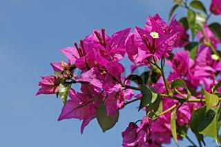 Bougainvillea glabra, Drillingsblume