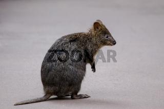 Cute quokka, a small kangaroo species, Valley of the Giants, western Australia