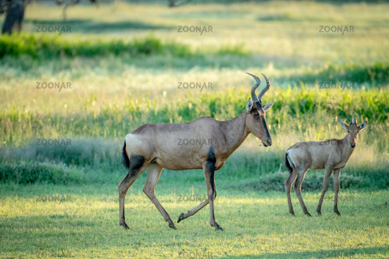 Red hartebeest and calf standing in the grass.