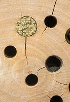 Mit lehmiger Erde verschlossene Brutröhre einer künstlichen Nisthilfe (Bienenhotel) / Brood cavity of an artificial nesting block (bee hotel)  sealed by a mason bee with a layer of mud