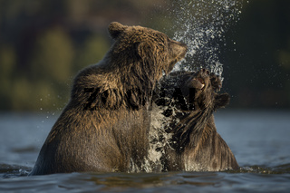 abgewatscht... Europäischer Braunbär *Ursus arctos*