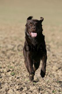 brauner Labrador Retriever