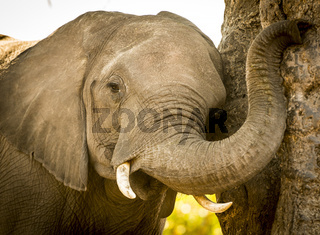 Young Elephant Calf Playing With Trunk