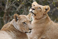two lionesses, Kruger NP, South Africa