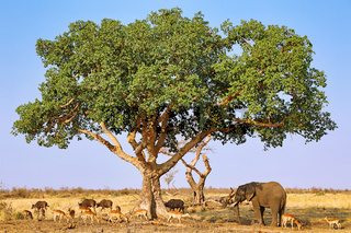 Afrikas Vielfalt unter einem Maulbeerfeigenbaum im Kruger Nationalpark Südafrika; variety of Africa uder a sycomore fig, Kruger NP, south africa, wildlife