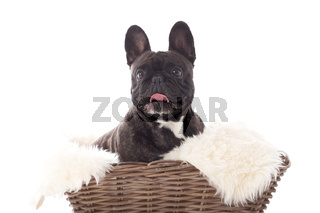 Franse buldog in a basket