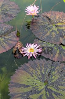 Rosa Blüte Treichrose mit Blättern auf dem Wasser