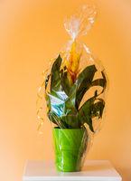 Vriesea splendens flower as present