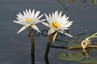 Seerose (Nymphaea), Chobe Fluss, Chobe River, Chobe National Park, Botswana, Afrika, Water lily, Africa