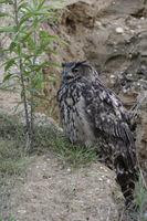 calling... Eurasian Eagle Owl *Bubo bubo*