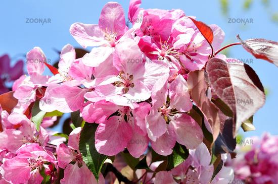 Pflaumenblühte