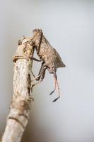 Dock Bug, Coreus marginatus, Lederwanze