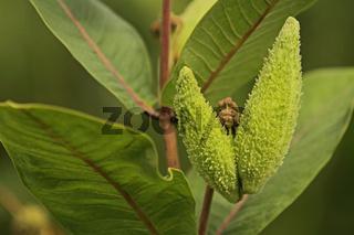 Seidenpflanze (Asclepias)