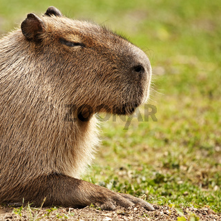 Capybara oder Wasserschwein (Hydrochoerus hydrochaeris) - capibara (Hydrochoerus hydrochaeris)