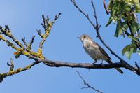 young common whitethroat