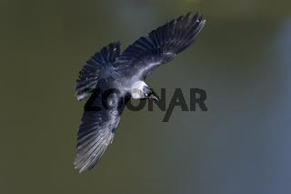 Dohle (Corvus monedula), Jackdaw