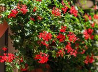Geranium plant closeup.