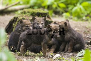 Europaeischer Wolf (Canis lupus lupus), Woelfin mit Welpen, European wolf with pup, puppy