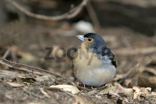 Kanarenbuchfink, F. c. tintillon, Canary Islands