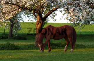Pferd auf blühender Obstbaumwiese